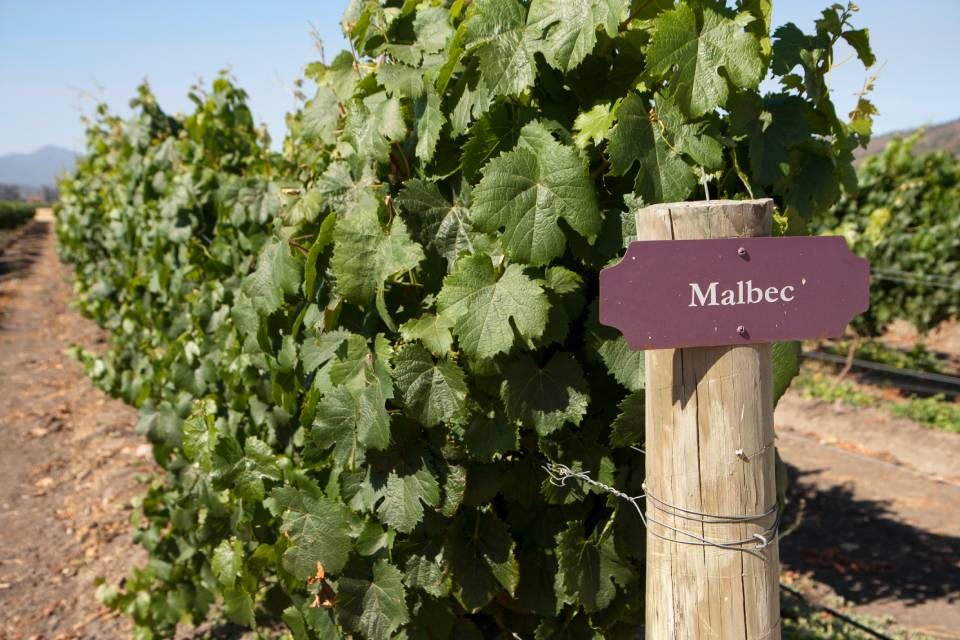 Vineyard - Malbec being grown on the vine